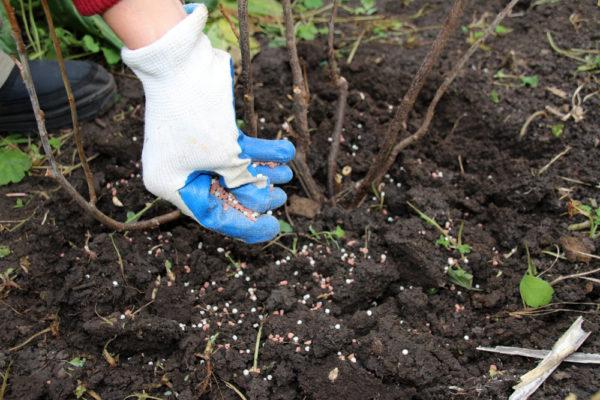 Alberi da frutto e arbusti hanno bisogno di fertilizzanti dopo la fruttificazione