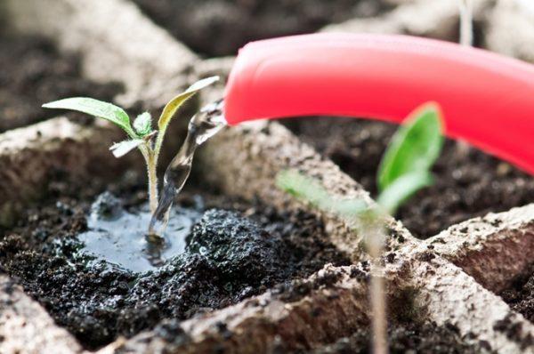 La prima irrigazione delle piantine dopo la germinazione