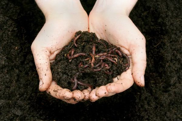 Vermicomposting: elaborazione con l'aiuto di worm