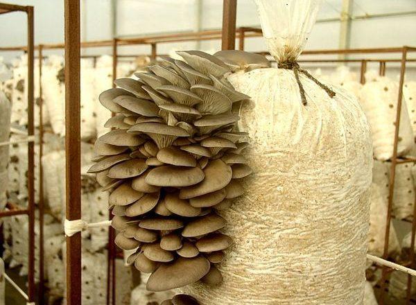 Funghi di ostrica crescenti a casa