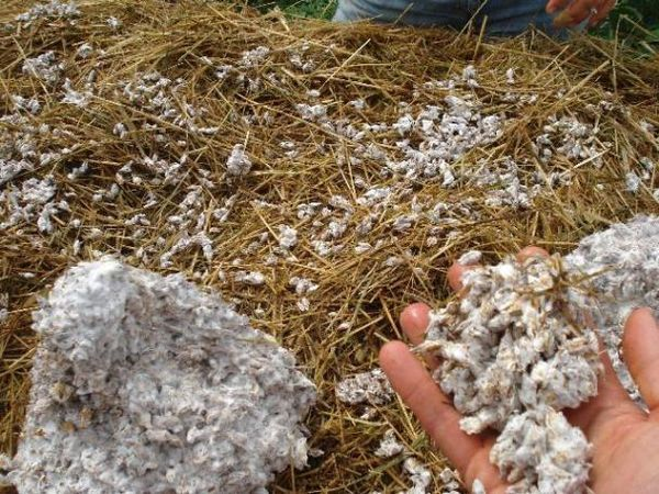 Substrato pronto per la coltivazione di funghi ostrica