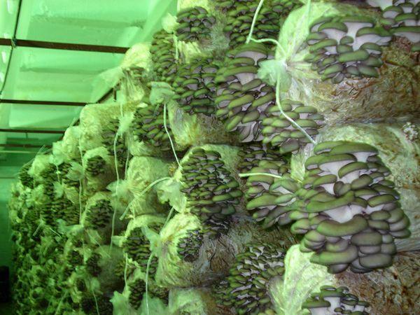 Circa 100 kg di funghi ostriche ottengono 100 sacchi