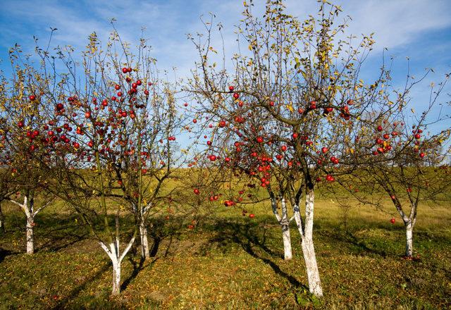 Top dressing di meli in autunno
