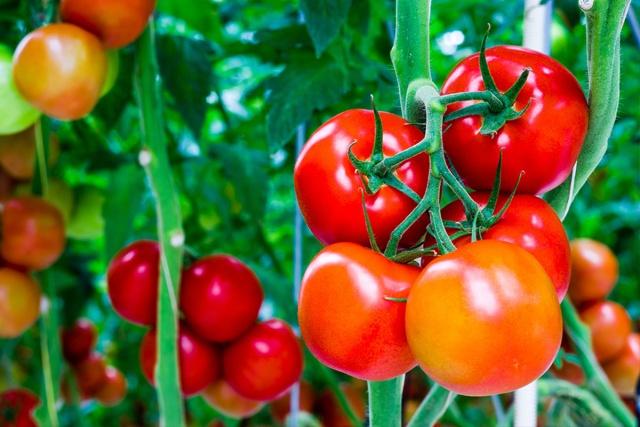 Mascheratura di pomodori