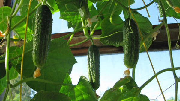 Cavoli, cipolle, legumi, mais crescono bene dopo i cetrioli.