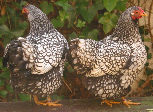 Razze di galline