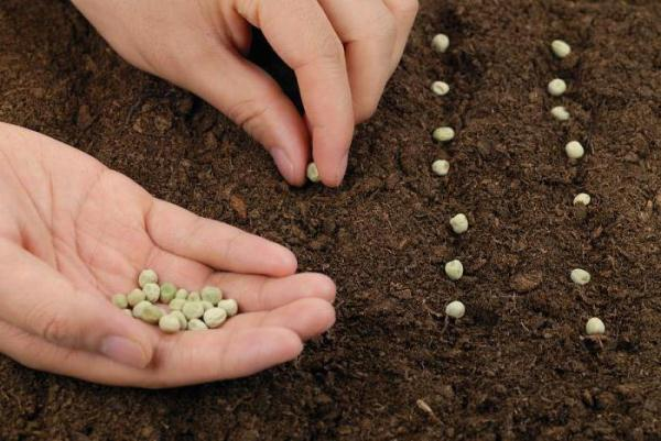 Come piantare i piselli in piena terra