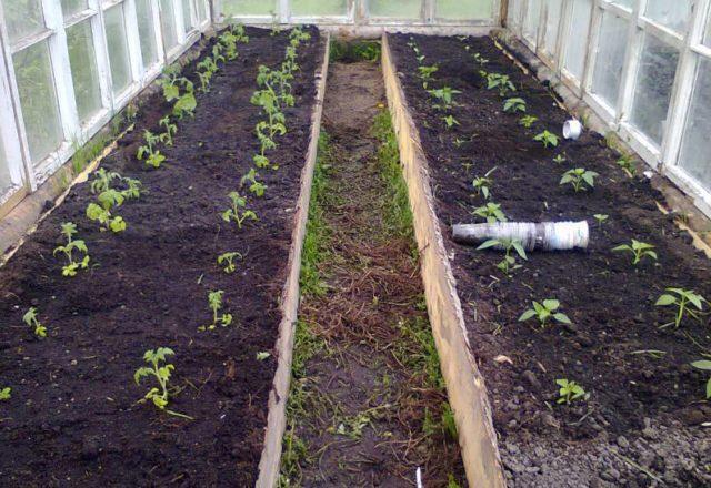 quando piantare pomodori in una serra in Siberia