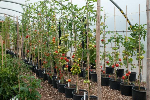 Pomodori, formati in un gambo