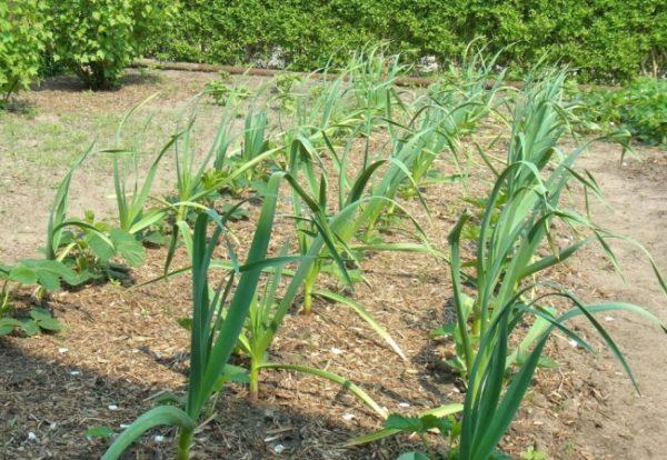 Dopo l'aglio, i cetrioli vengono piantati l'anno prossimo